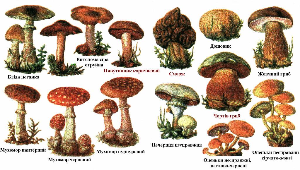 разновидности грибов с картинками